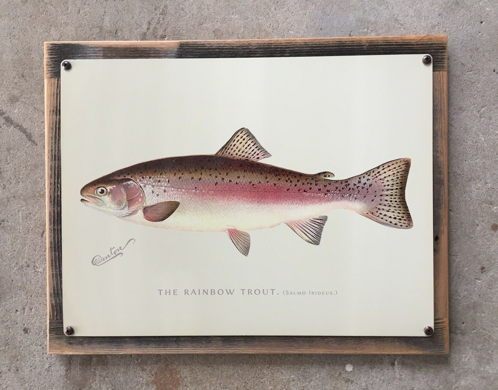 Denton Rainbow Trout  Fish Fishing Vintage Framed  Steel Print Sign New York NY  check out the cheapest