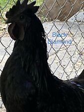 New Listing6 Rare Pure Black Flf Origin Ayam Cemani Fertilized Hatching Eggs