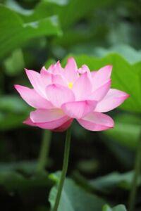 Seedeo ® Indien Lotus Fleur (nelumbo Nucifera) 8 Graines-afficher Le Titre D'origine
