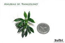 Anubias sp. 'Pangolino' - Rare Live Aquarium Plant, moss fern shrimp tank