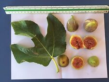 Delicious Fig Trees * Ficus Carica Var. PARATJAL 3 fresh cuttings