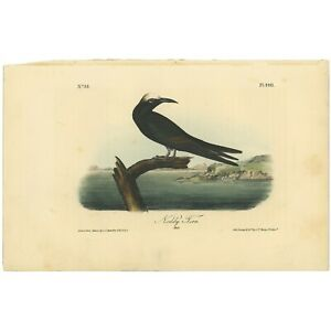 Audubon Octavo 1st Ed 1840 hand-colored litho Pl 440 Noddy Tern