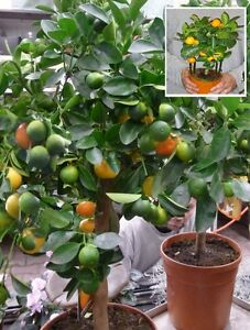 orangenbaum calamondin zimmerpflanze immergr ne zimmerpalme b ropflanze obstbaum ebay. Black Bedroom Furniture Sets. Home Design Ideas