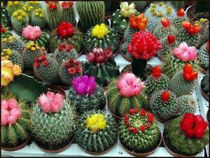 Cactus Mix (un Mélange De Variétés) Indoor Graines De Fleurs De L'ukraine-afficher Le Titre D'origine Performance Fiable