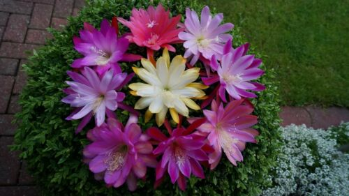 Epicactus Epiphyllum Hybride *** EDI PAETZ *** Blattkakteen