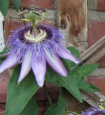 Passiflora Justine Lyons Passion flower sent in 9cm Pot