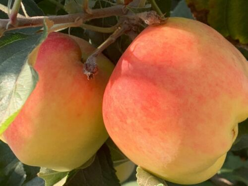 1 Delicious California Rooted Apple Starter Tree Ready to Plant