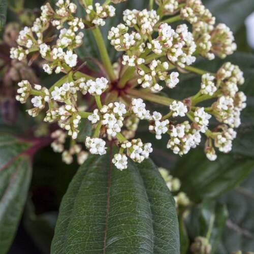 Sempreverdi Cuscino-palla di neve Viburnum davidii 20-30 cm