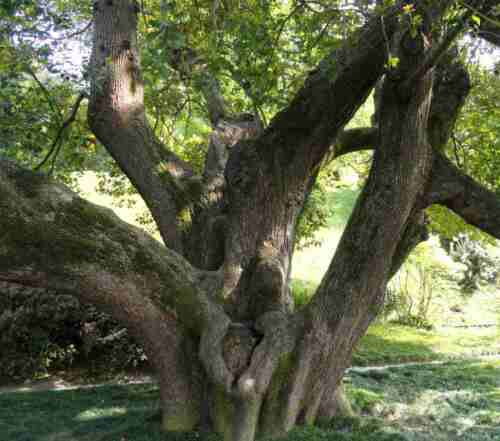 Cinnamomum camphora 50-500 graines zimtlorbeer kampferbaum camphre laurier