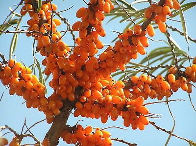 Sea Buckthorn, Hippophae rhamnoides, Seeds (Fast, Edible, Hardy, Showy)