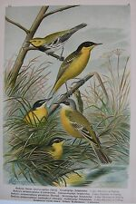 1905 CUTRETTOLA TESTAGIALLA Uccelli Naumann Ornitologia Ornithology Motacilla