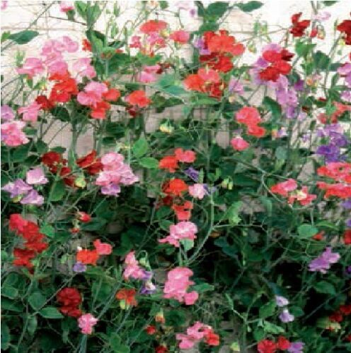 Sweet Pea Giant Spencer Waved Mixed 500 Seeds Bulk Packet