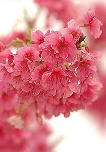 Cerasus Campanulata Taiwan Flowering Cherry Tree 10 Seeds