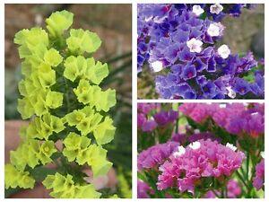 Flower seed purple blue yellow sea lavender limonium statice marsh image is loading flower seed purple blue yellow sea lavender limonium mightylinksfo