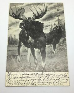 Antique-Postcard-Wild-Moose-Of-Northern-Minn-Posted-1909-Rare