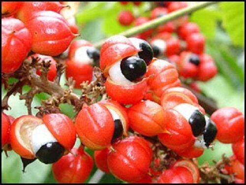 10 GUARANA Paullinia Cupana Shrub Vine Seeds *Comb SH