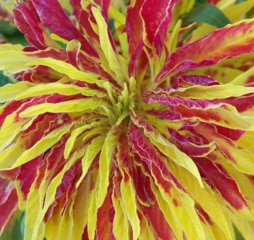 Eye catching E48 Amaranthus Tricolor Perfecta 100 seeds Showy