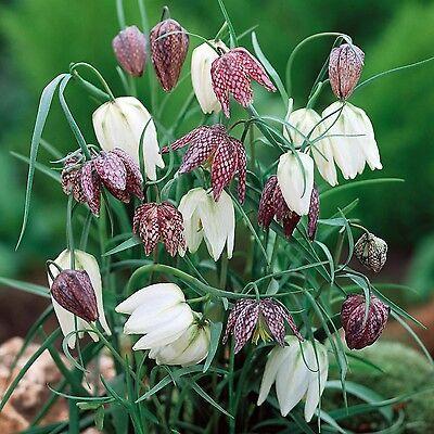 25 x FRITILLARIA Meleagris  SNAKESHEAD LILY Spring Perennial Plant BULBS