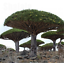 10pcs-Canary-Island-Dragon-Blood-Tree-seeds-bonsai-seed-Giant-Exotic-Tree-Fresh thumbnail 7