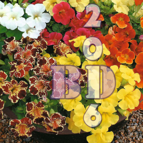 pack /_ 151 Tigre Singe Fleur Mix 2500 graines-Mimulus Hybridus Orig