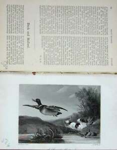 Old-Antique-Print-1891-Mallard-Duck-Hunting-Hounds-Country-Sports-Baily-039-S-19th