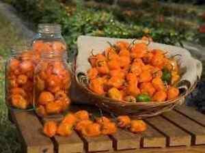 25 HABANERO PEPPER SEEDS 2021 ( NON-GMO FREE SHIPPING! )