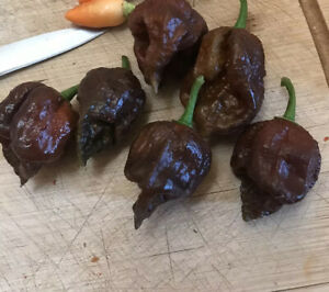 15-Seeds-HAWASHIN-S-CHOCOLATE-BORG-9-WORLD-HOTTEST-PEPPERS-2020-USA-SELLER