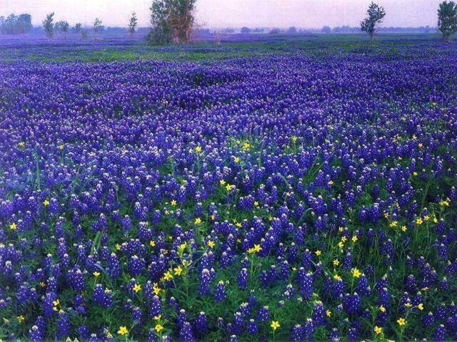 Lupinus Reseeding Annual 40 Blue Lupine  Flower Seeds Texas Blue Bonnet