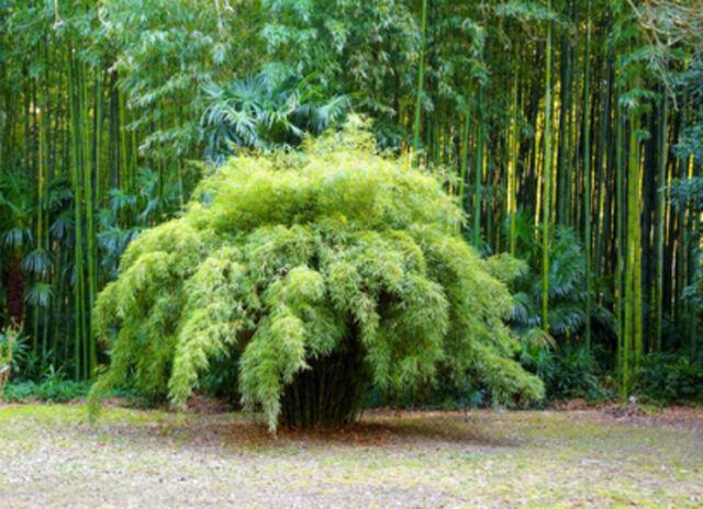 Bambus Fargesia fungosa KEINE RHIZOMSPERRE 10 Samen