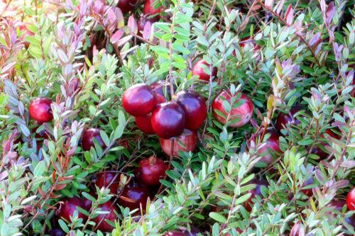 mirtillo rosso americano differenti varieta vaso 9 4 Piante cranberry