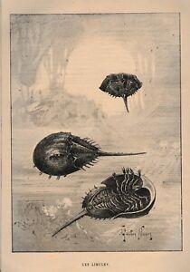 Coupure De Presse Les Limules, Gravure 1894 Vgwey41c-07224850-152006816