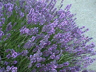 PERENNIAL FLOWER LAVENDER COMMON ENGLISH 1000 SEEDS