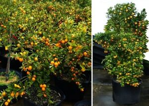 Mandarinen-exotische-grosse-Pflanzen-Duft-fuer-das-Haus-Exot-essbare-Zimmerpflanze