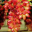 50pcs-Finger-Grape-Berry-Seeds-Rare-4-Kinds-Colors-Pereninal-Garden-Home thumbnail 2