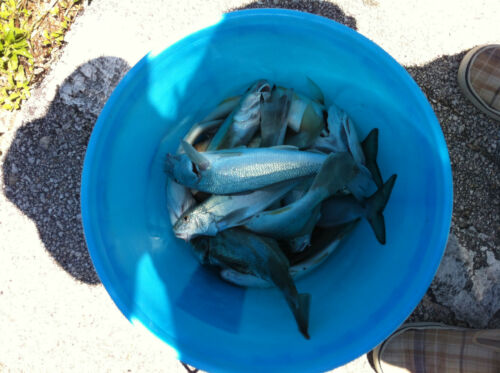 Etc. Whitings Croakers Snappers 6 Surf // Pier Fishing Rigs:  Pompano