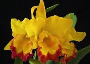 RON-Premium-Cattleya-Orchid-mericlone-Rlc-Shinfong-Gold-Gem-039-Golden-Jewel-039-8895
