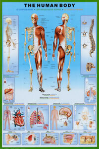 THE HUMAN BODY POSTER (61x91cm) EDUCATIONAL WALL CHART PICTURE PRINT NEW ART