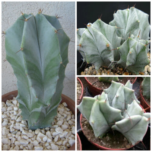 cacti seed succulents seeds R 50 seeds of Lemaireocereus pruinosus