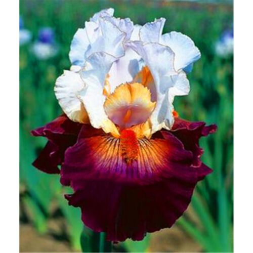 Iris Perennial Resistant Bonsai Bulbs Fragrant DIY Plants Attractive Beautifying