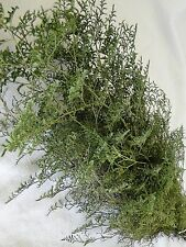 PRESERVED DYED BASIL GREEN CASPIA FLORAL FOLIAGE FILLER FLOWER