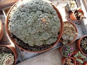 Astrophytum-discocactus-lobivia-ariocarpus-mammilaria-obregonia-ferocactus-100