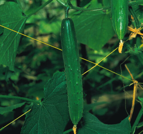 Vegetable Cucumber F1 Burpless Tasty Green 20 seeds