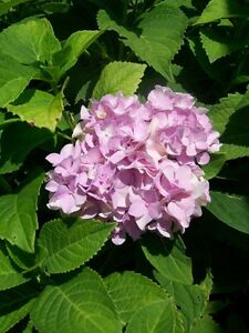 Nikko Blue Hydrangea 3 Gal Plant Large Multiple Flowers Easy To