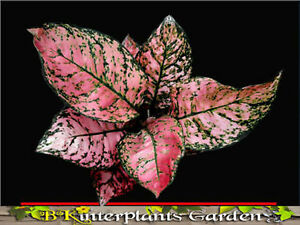 AGLAONEMA-Beautiful-034-Valentine-034-Very-Sweet-Pink-Leaf-Free-Phyto-Don-039-t-miss
