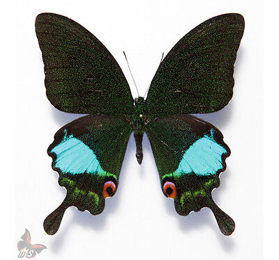 JAVA UNMOUNTED INDONESIA UNCOMMON PAPILIO WHOLESALE 9 PCS PAPILIO KARNA