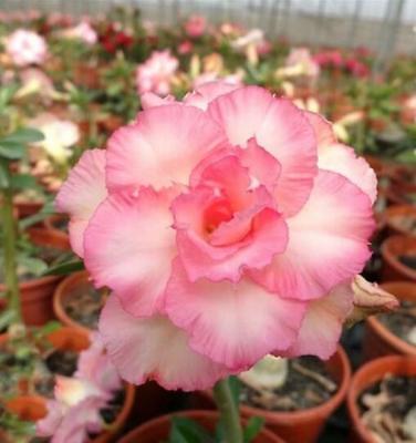 "5 pcs desert rose flower bonsai ""Happy"" seeds #D039 adenium obesum"