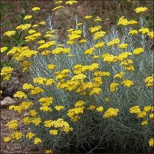 CURRY-PLANT-HELICHRYSUM-ITALICUM-1-LITRE-POT-ELLIS-S-ERBS
