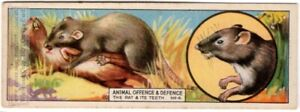 Rat-Teeth-Are-Weapons-Harder-Than-Copper-And-Iron-c80-Y-O-Trade-Ad-Card