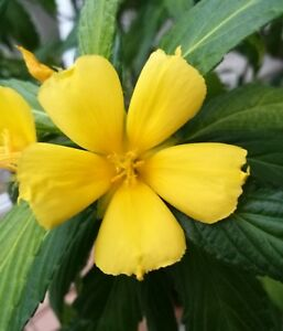 Damiana-Turnera-ulmifolia-semences-graines-seeds-33-piece