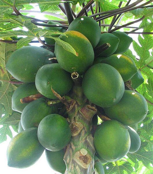 Carica papaya Coorg Honey Dew 15 seeds